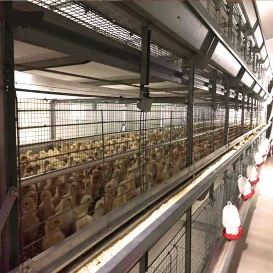کانکس پرورش مرغ